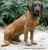 Dog Familiar (Bavarian Mountain Hound)