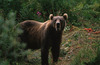 Kodiak Bear House Guardian