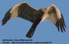 Marsh Harrier Hawk
