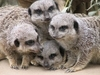 Meerkats House Guardians