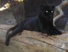 Black Jaguar (Female)