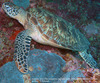 Sea Turtles (Hawksbill)