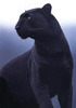 Black Panther Shapeshifter (Female)